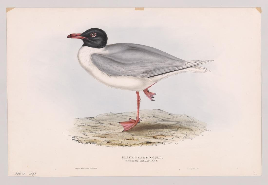 Black Headed Gull, J & E. Gould 1847 - 2