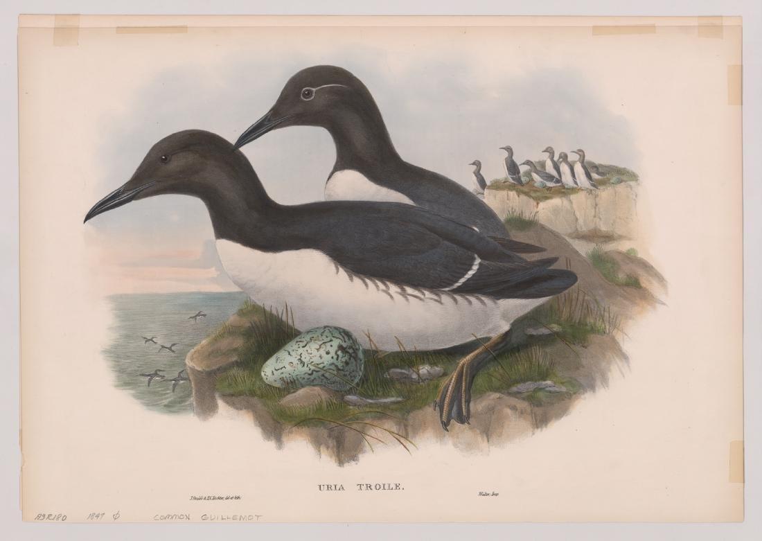 Uria Troile, J. Gould & H. C. Richter 1847 - 2