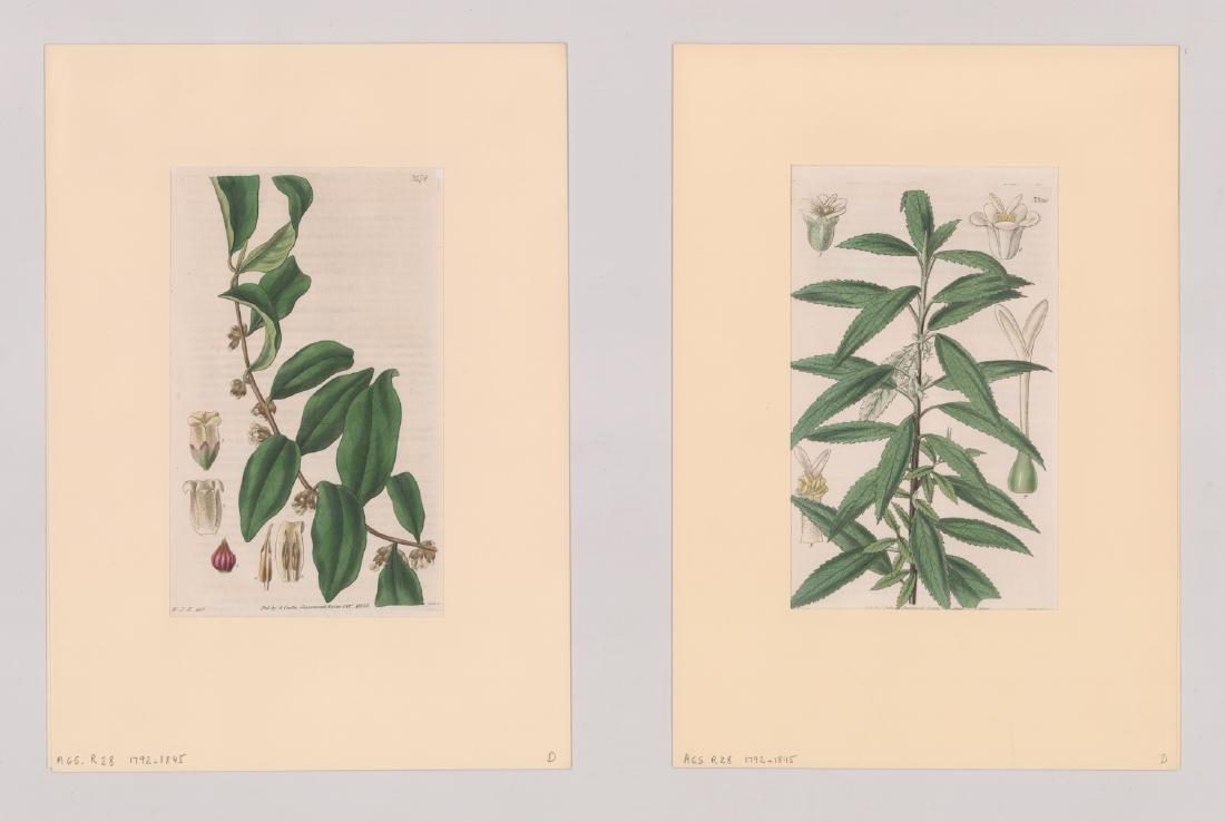 1792-1845 Curtis Botanicals (13) - 4