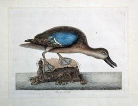 Mark Catesby Hand-Colored Etching