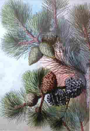 "ELLIS, Rowan (1848-1922) ""Pine Cones"""