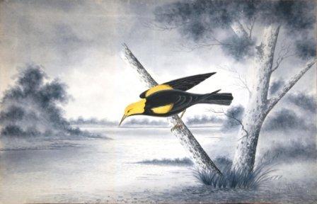 1008: CALVERT, H H  Regent Bower Bird, 1919.  W/Clr  62