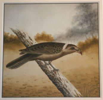 1011: CALVERT, H H  Bird Study, 1915. Butcherbird.  W/C