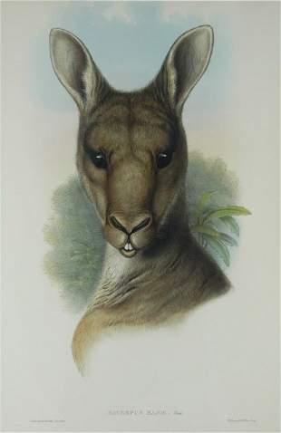 GOULD, John (1804-1881) 'Macropus Major.' Eastern Gr