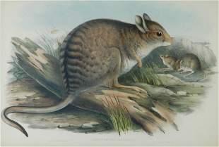 GOULD, John (1804-1881) 'Lagorchestes Fasciatus.' Ba