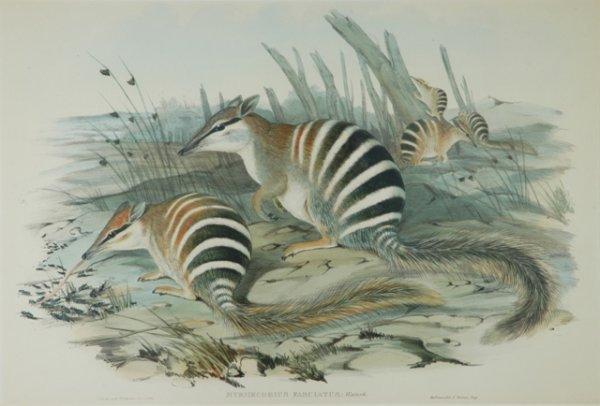 3: GOULD, John (1804-1881) 'Myrmecobius Fasciatus.' Num