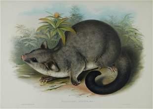 GOULD, John (1804-1881) 'Phalangista Rulpina.' Commo