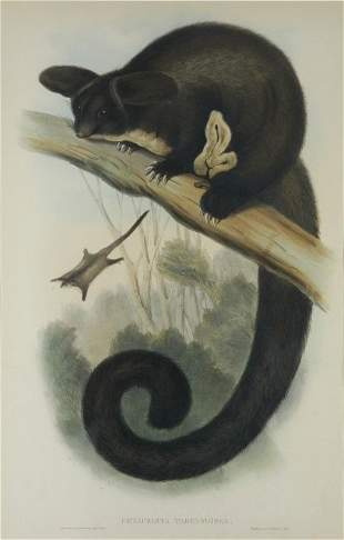 GOULD, John (1804-1881) 'Petaurista Tagundoides.' Gr