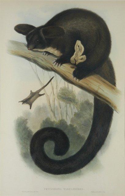 5: GOULD, John (1804-1881) 'Petaurista Tagundoides.' Gr