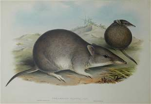 GOULD, John (1804-1881) 'Perameles Nasuta. Long Nose