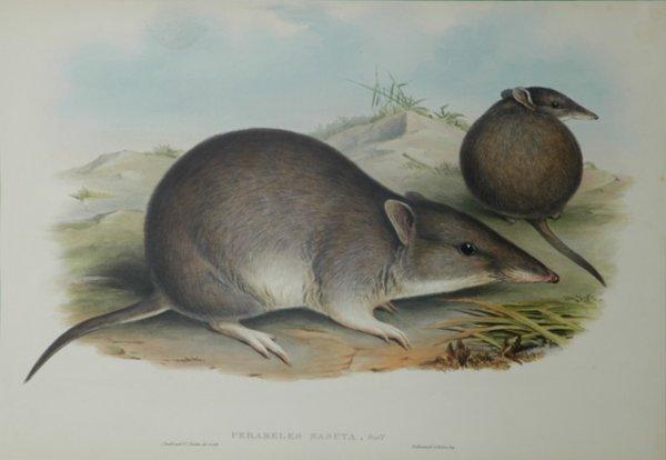 6: GOULD, John (1804-1881) 'Perameles Nasuta. Long Nose