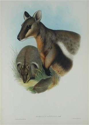 GOULD, John (1804-1881) 'Petrogale Lateralis.' Black