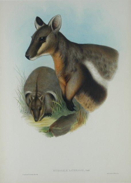 7: GOULD, John (1804-1881) 'Petrogale Lateralis.' Black