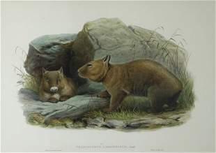 GOULD, John (1804-1881) (J.Wolf & H.C. Richter) 'Pha