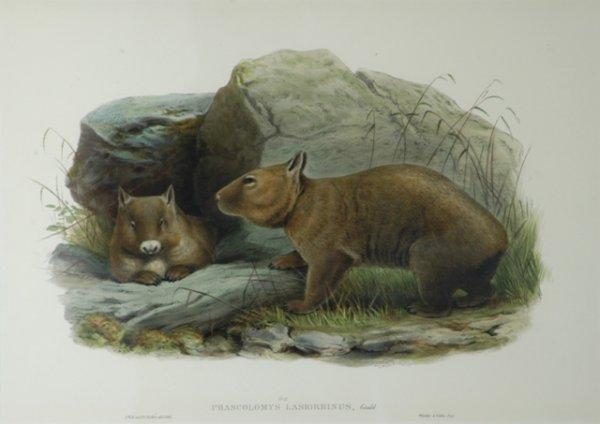 8: GOULD, John (1804-1881) (J.Wolf & H.C. Richter) 'Pha