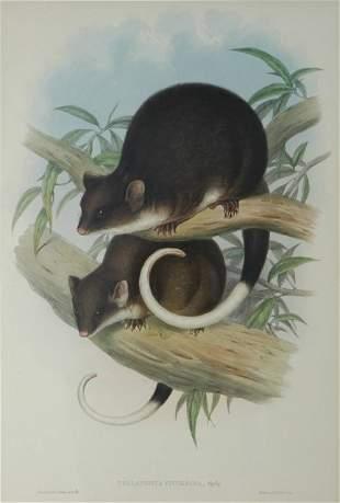GOULD, John (1804-1881) 'Phalangista Viverrina.' Co