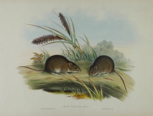 12: GOULD, John (1804-1881) 'Mus Gouldi.' Gould's Mouse