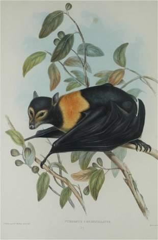 GOULD, John (1804-1881) 'Pteropus Conspicillatus.'