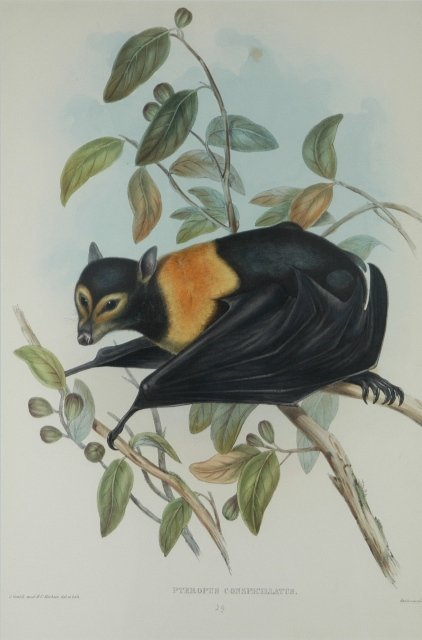 13: GOULD, John (1804-1881) 'Pteropus Conspicillatus.'
