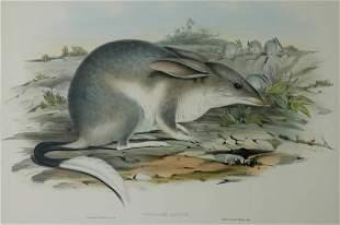 GOULD, John (1804-1881) 'Peragalea Lagotis.' Bilby.