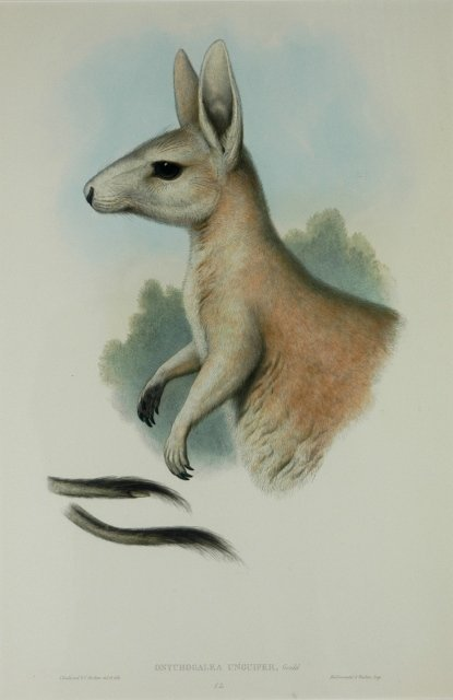 15: GOULD, John (1804-1881) 'Onychogalea Unguifer.' Nor