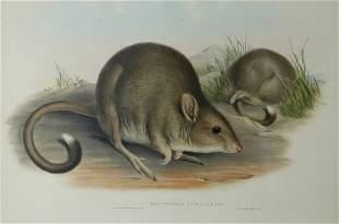 GOULD, John (1804-1881) 'Bettongia Cuniculus.' Tasm