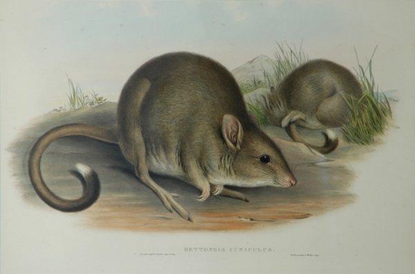 16: GOULD, John (1804-1881) 'Bettongia Cuniculus.' Tasm