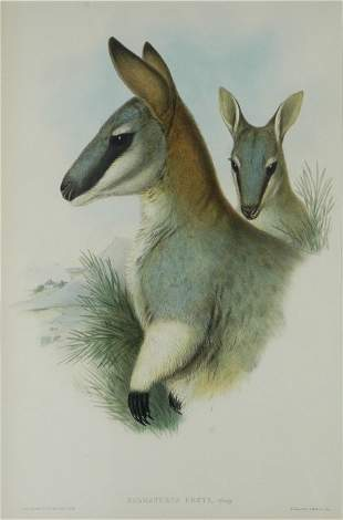 GOULD, John (1804-1881) 'Halmaturus Grey.' Toolache