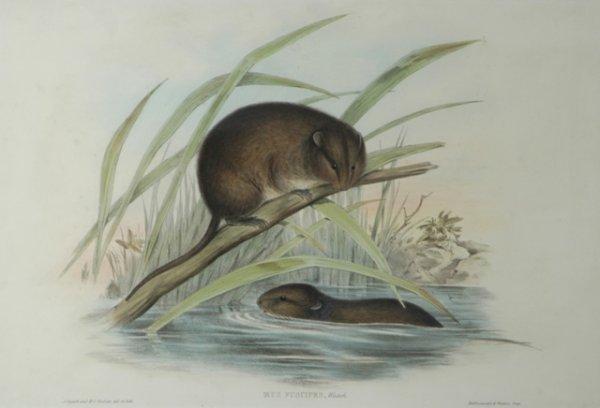 18: GOULD, John (1804-1881) 'Mus Fuscipes.' Bush Rat. R