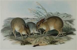 GOULD, John (1804-1881) 'Chaeropus Castanotis.' Pig