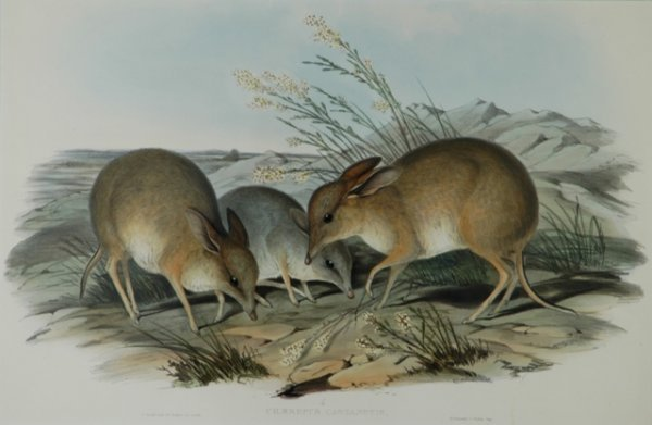 19: GOULD, John (1804-1881) 'Chaeropus Castanotis.' Pig
