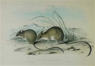 GOULD, John (1804-1881) 'Hapalotis Longicaudata.' L