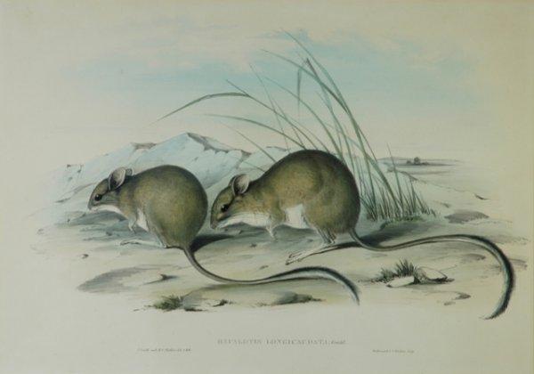 20: GOULD, John (1804-1881) 'Hapalotis Longicaudata.' L