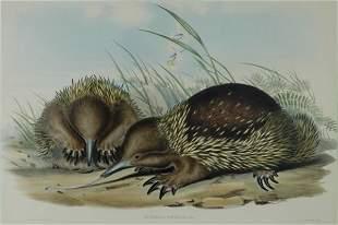 GOULD, John (1804-1881) 'Echidna Setosa.' Hairy Ech
