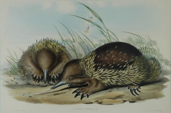 21: GOULD, John (1804-1881) 'Echidna Setosa.' Hairy Ech