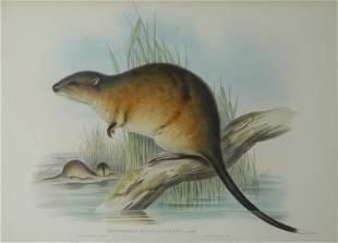 GOULD, John (1804-1881) 'Hydromys Fulvolavatus.' Wa