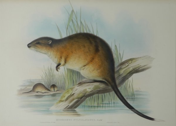 22: GOULD, John (1804-1881) 'Hydromys Fulvolavatus.' Wa