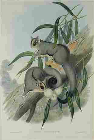 GOULD, John (1804-1881) 'Belideus Breviceps.' Sugar
