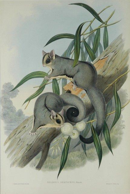 23: GOULD, John (1804-1881) 'Belideus Breviceps.' Sugar