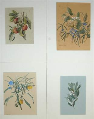 Australian School (4) Tasmanian Native Plants. Inc