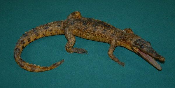 13: New Guinea Taxidermised Crocodile.  Young estuarine