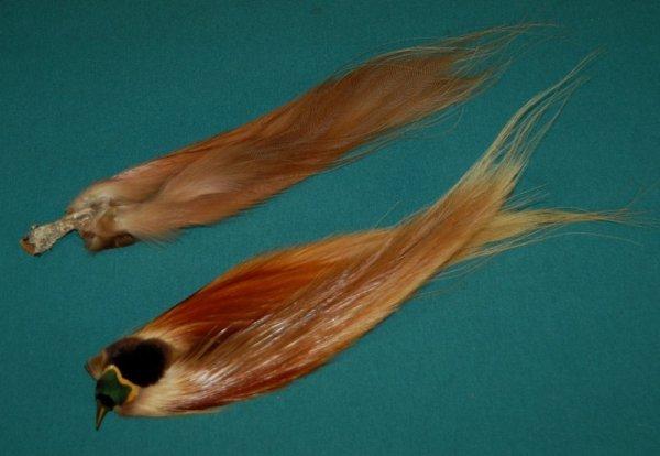 24: New Guinea Bird of Paradise.  Preserved part bird (