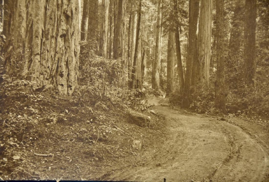 Redwood Forest - 2