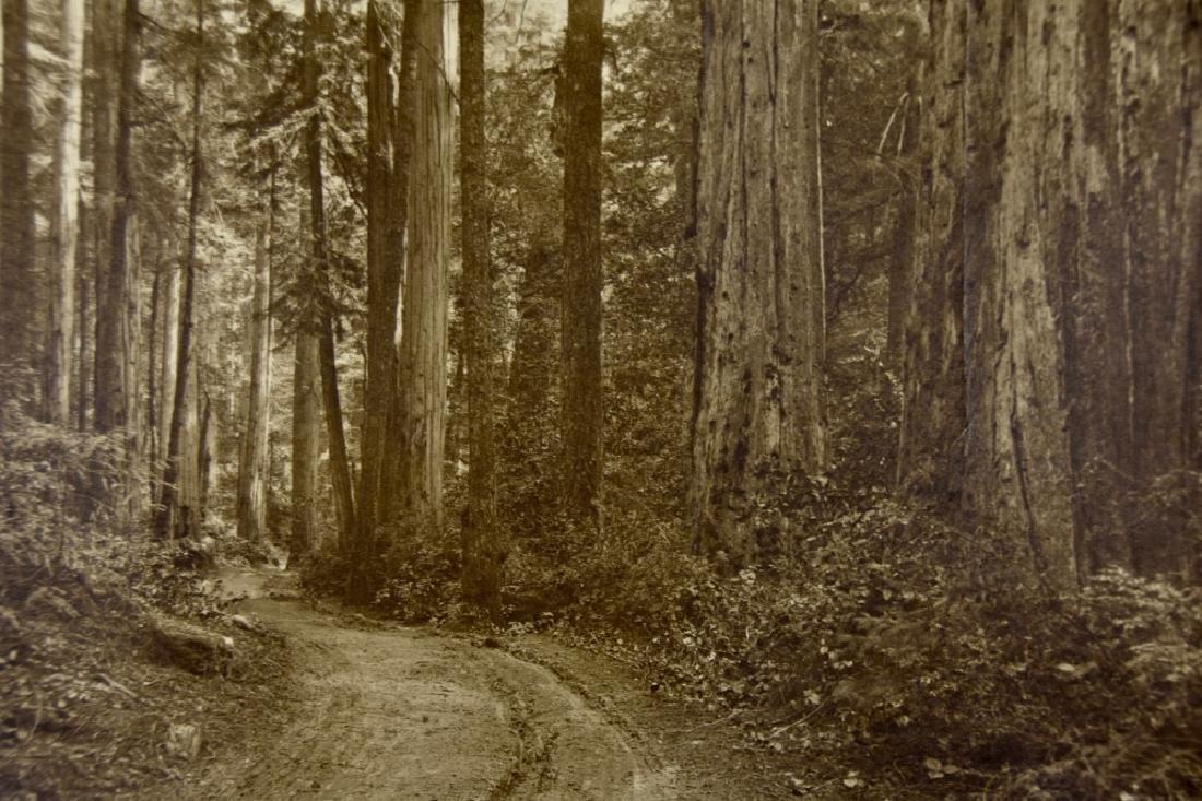 Redwood Forest - 4