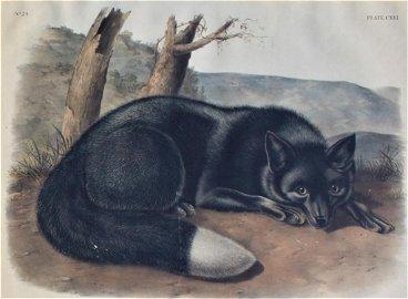 John JameLaforest Audubon, American Black or Silver Fox