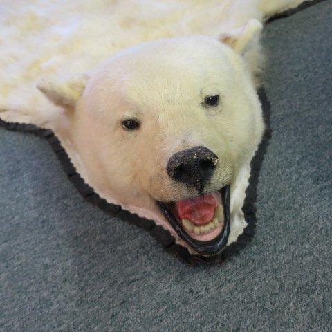 POLAR BEAR Skin Rug - Taxidermy
