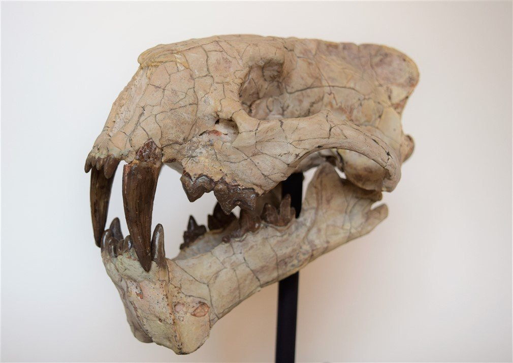 Beautiful Colorful Complete Hoplophoneus Saber-Tooth