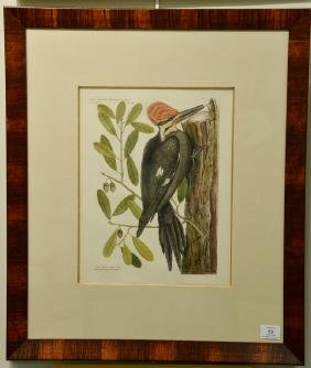 "Pair of Mark Catesby hand colored engravings ""The Large"