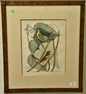 "Mark Catesby hand colored engraving ""The Bafterd"
