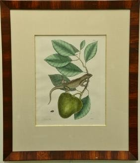 "Pair of Mark Catesby hand colored engravings ""Lacertus"